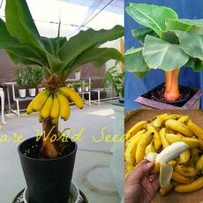Bonsai, Mini, Garden, bananaseed