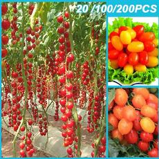 tomato, rainbow, Plants, Seed