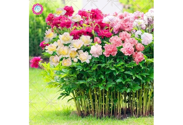10pcs Peony Flower Seeds Mixed Beautiful Perennial Bonsai Plant Garden and Home
