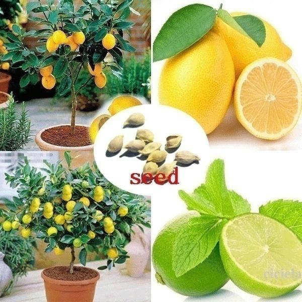 20 Pcs Lemon Tree Seeds Bonsai Fruit Garden Tree Seeds Outdoor Indoor Rare Organic Fruit Tree Seeds Wish