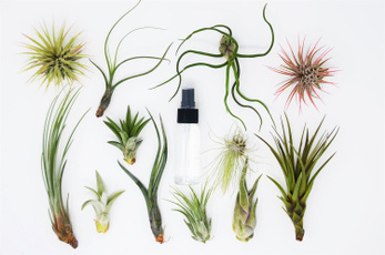 Plants, tillandsia, Garden, fuschii