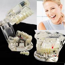 dentalteethmodel, dental, toothtypodont, articulator