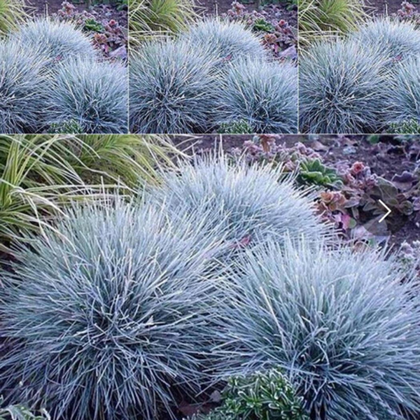 Blues, Bonsai, potsfescueseed, fescuegrassseed
