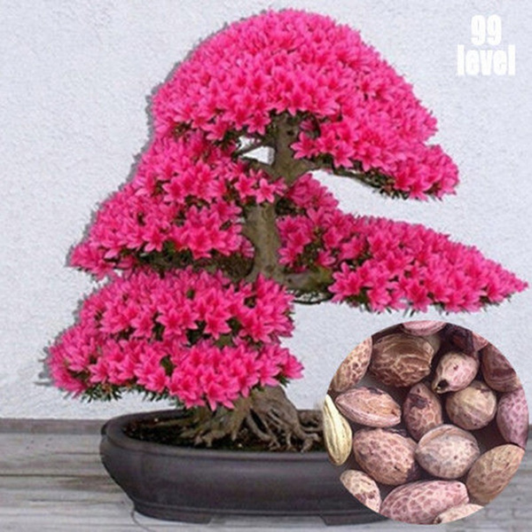 Japanese Cherry Blossoms Seeds Courtyard Garden Bonsai Tree Seeds Small Sakura Tree Flower Seeds Plant Pot 200pcs Wish