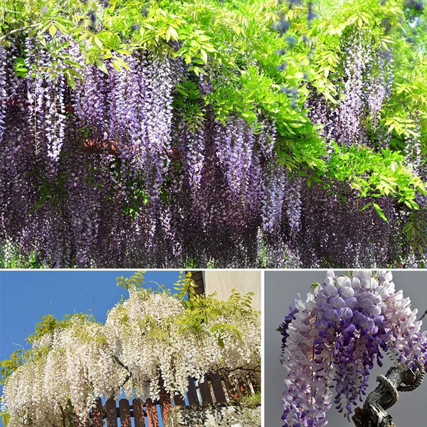 200pcs Bag Wisteria Flower Seeds Wisteria Flower Chinese Wisteria Bonsai White Blue Pink Yellow Purple Wish
