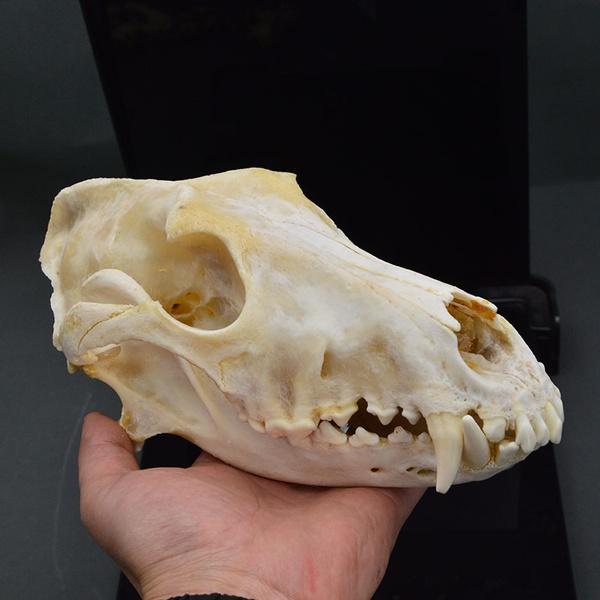 art, Skeleton, skull, Pets