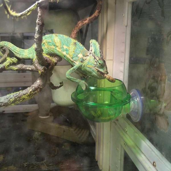 reptile, waterfeeder, foodbowl, chameleon