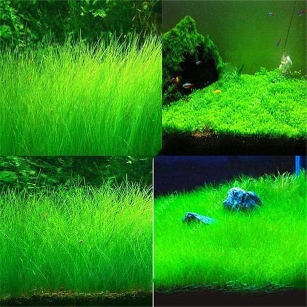 decoration, Plants, Tank, watergra