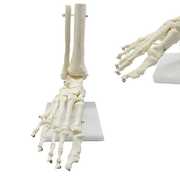 medicaltool, lifesize, medicalanatomy, humanfootskeleton
