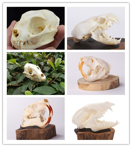 11, Natural, skull, ferret
