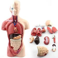 kidslearningtoy, teachingeducation, humanbodymodel, anatomyteaching
