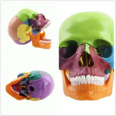 skullmodel, dentalmodel, art, skull