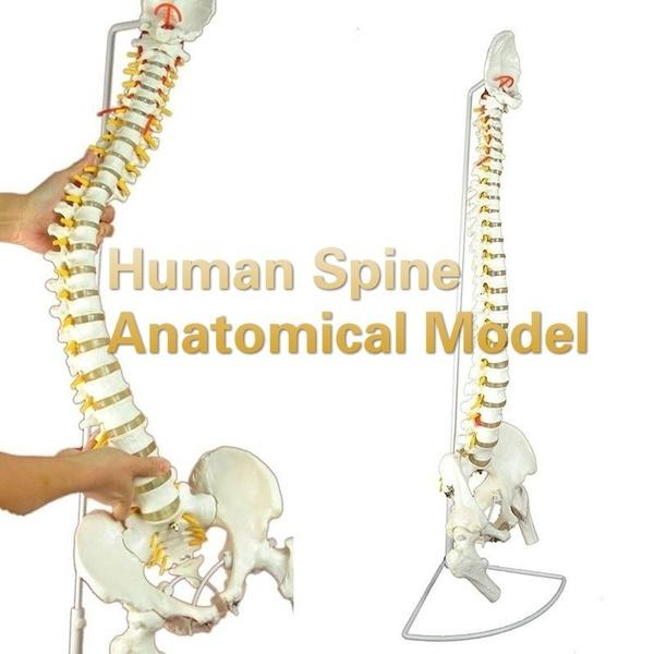 humanspinemodel, medicaltool, demonstrationmodel, Educational Products