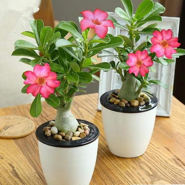 Desert Rose Plant Seed Rare Adenium Obesum Flower Plants Bonsai Seeds Air Purification For Home Garden Wish