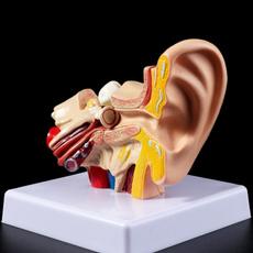 medicalmodel, teachingsupplie, accessoire, earanatomymodel