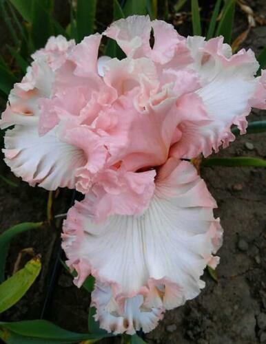 pink, fragrant, Ballet, perennial