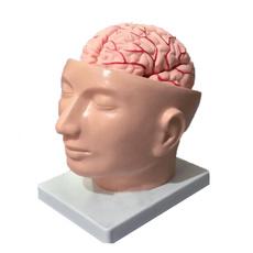 Head, medicalteachingaid, lifesizemodel, humanbrainmodel