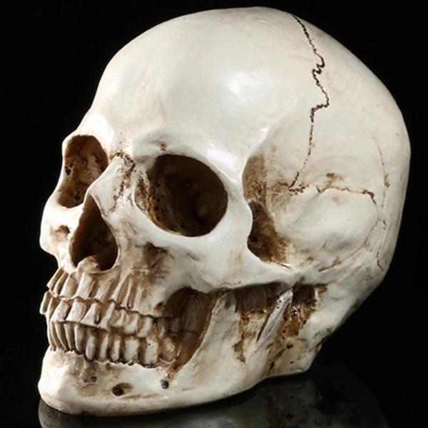 skullmodel, humanskull, headskullmodel, Skeleton