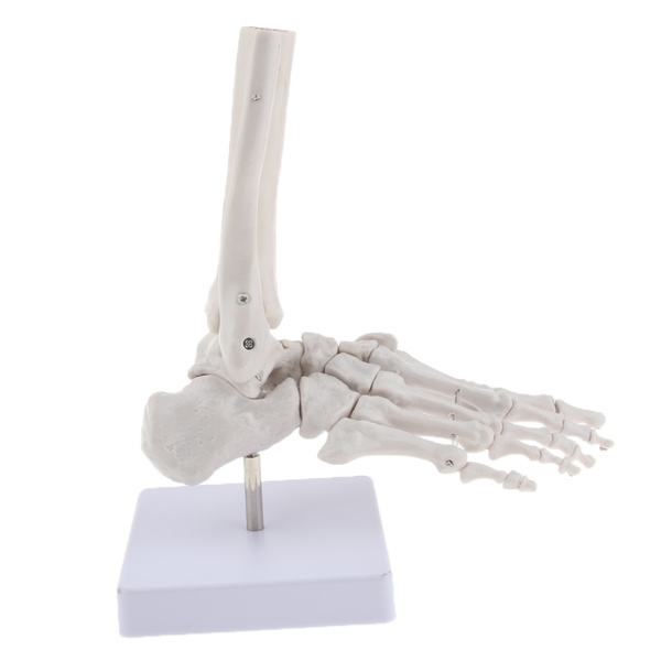 footbonemodel, humanfootskeleton, Skeleton, otherhealthcarelabdental