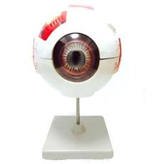 eye, eyemodel, teachinginstrument, medicalteachingtool