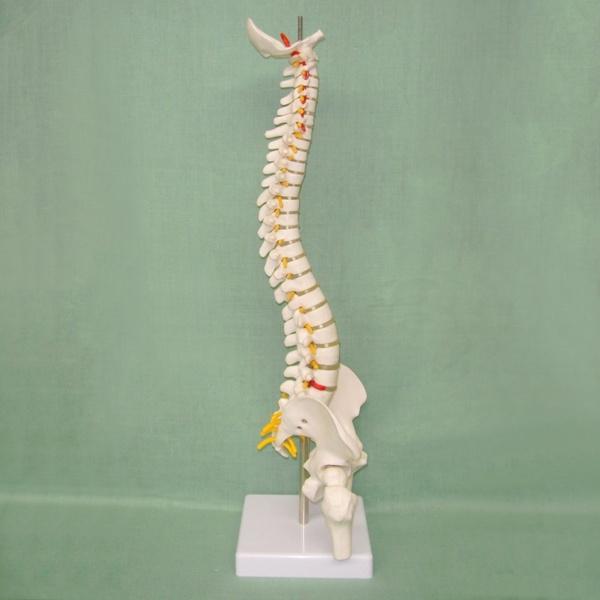 humanspinemodel, Toy, skull, humanspinemodelforanatomy