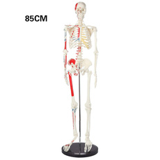skeletonmodel, skeletonanatomy, Skeleton, humanskeleton