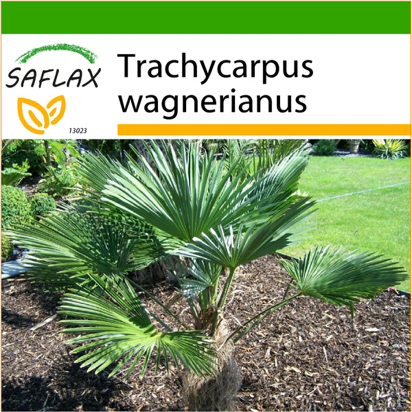 trachycarpu, Flowers, Seed