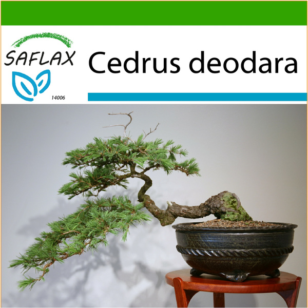 Bonsai, Flowers, Seed, cedru