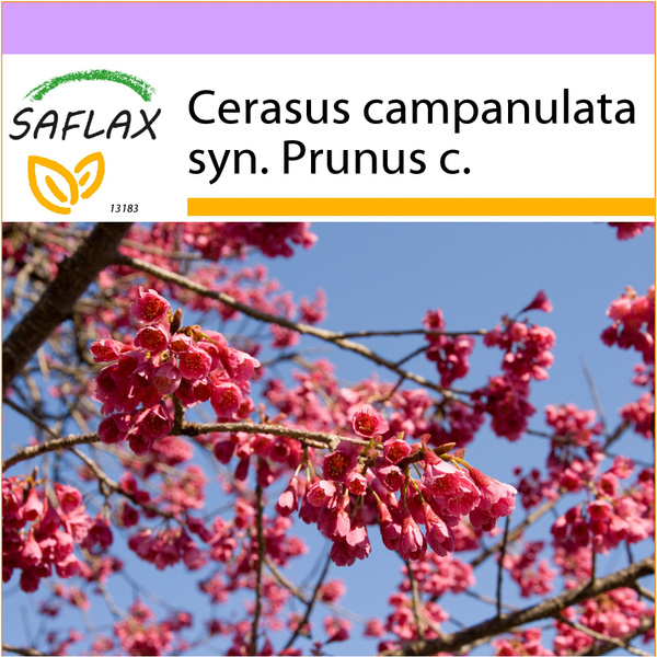 Cherry, Flowers, Seed, cerasu