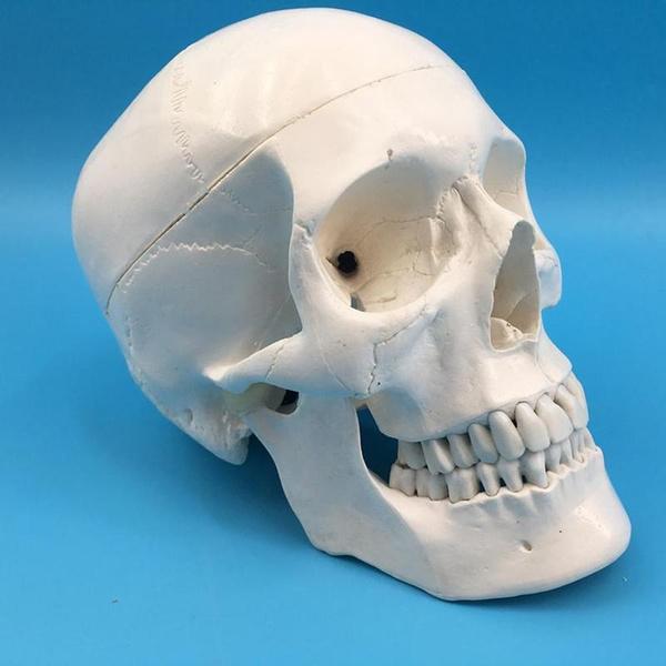 skullmodel, skull, cheekbone, standardskullmodel