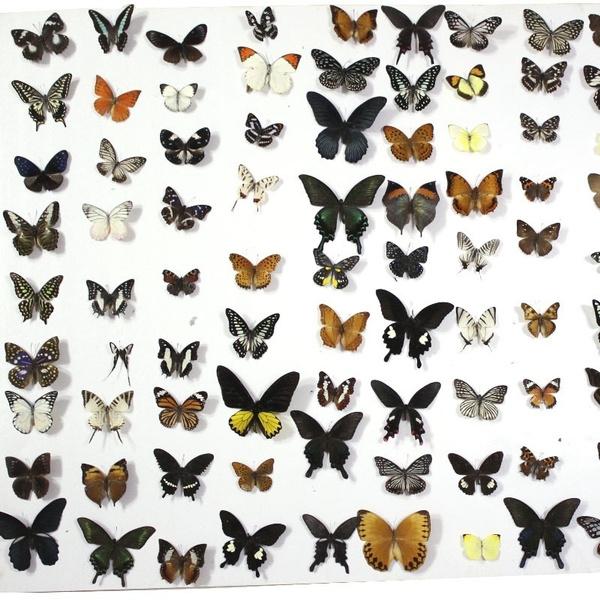 butterfly, educationcraft, butterflyspecimen, Glass