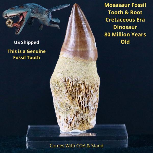 mosasaurtooth, prognathodon, foosilspecimen, mosasaur