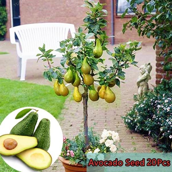 20pcs Bag Avocado Seeds Bonsai Avocado Fruit Seeds Wish