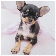 paintwithdiamond, cute, doganimal, chihuahuadog