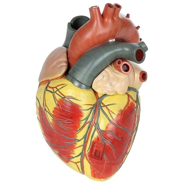 Heart, Pvc, heartmodel, cardiacmodel