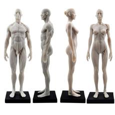 humanmodel, anatomymodel, Muscle, humanfigure