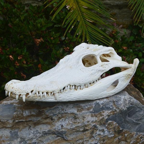 crocodileskulltaxidermy, Bar, Animal, animalskullspecimen