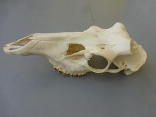 reddeerskull, Decor, horseskull, Home Decor