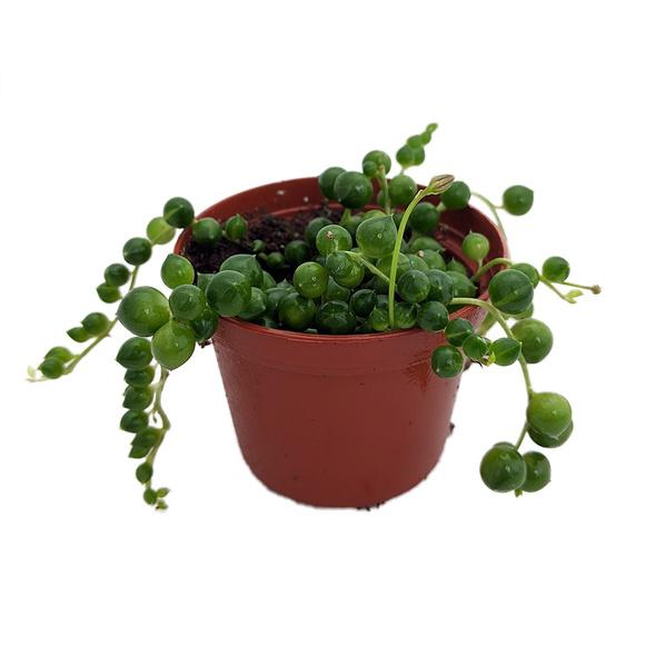 , rowleyanu, Plants, senecio
