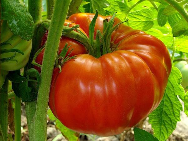 tomato, huge, Plants, MONSTER