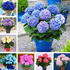 Bonsai, Plants, Flowers, hydrangeaseed