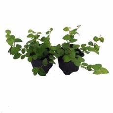 , Plants, Garden, ficu