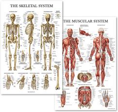 Skeleton, muscleanatomychart, educationalsupplie, Posters