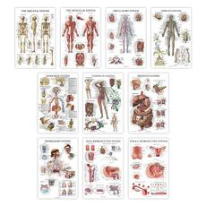 circulatory, respiratory, lymphatic, endocrine