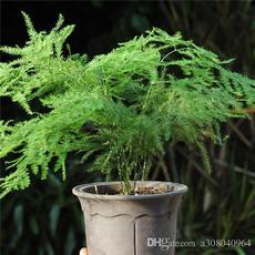 evergreen, Bonsai, Plants, perennial