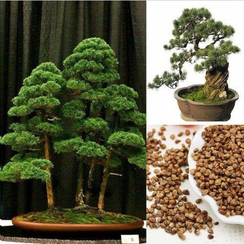 Bonsai, Plants, Home & Living, Tree